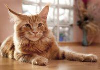 Visas pasaules 18 retākās kaķu šķirnes
