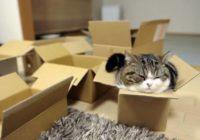 Kāpēc kaķiem patīk kastes?