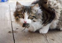 Kāpēc kaķi nes atrādīt noķertās peles?