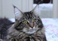 Pie meinkūnu šķirnes kaķa Fidžeralda, kurš dievina ūdeni