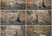 Aizkustinošs stāsts par izbadējušos lauvu un grūtnieci antilopi