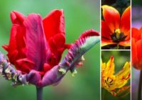 10 skaistākās tulpju šķirnes pasaulē