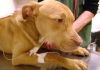UZMANĪBU! Latvijā sākusi izplatīties bīstama suņu slimība