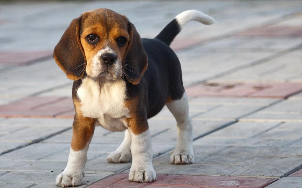 1268085-beagle-puppy