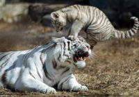Foto: Zoodārzā Krievijā piedzimis viens varen blēdīgs tīģerēns