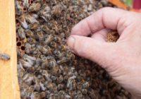 Bites dzēliens – dziedinošs un bīstams