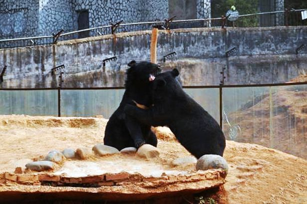 PAY-Black-bears (2)