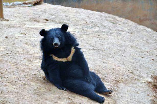 PAY-Black-bears