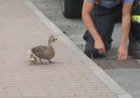 Varonīgi: Pīļu mamma lūdz cilvēku palīdzību, lai izglābtu viņas pīlēnus