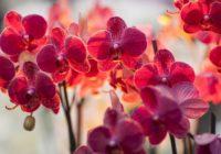 Orhideju kopšana un atdzīvināšana – cik bieži jālaista orhidejas u.c. padomi