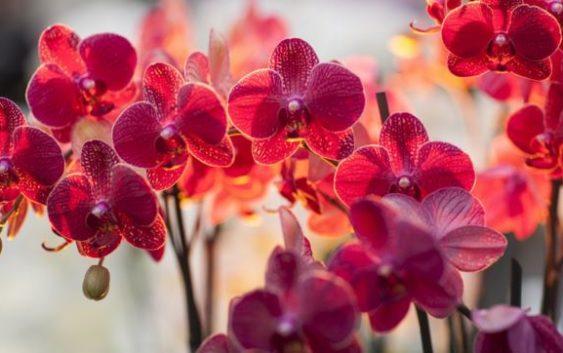 orhideju-kopsana