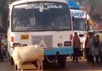Mammas nekad neaizmirst: Indijā govs pēc 4 gadiem apstādina autobusu, kas notrieca viņas telēnu
