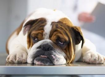 Sick-Bulldog-on-Veterinarians-Table