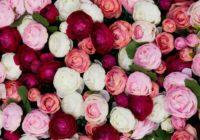 Valentīna dienā saņem rozes? Lūk, ko nozīmē katras rozes krāsa!