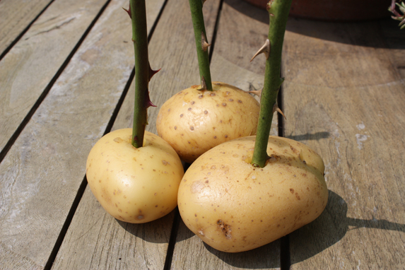 potato-rose-6