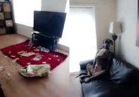 Saimnieks atnākot mājās ierauga nekārtību, suņa reakcija– nenormāli smieklīga!