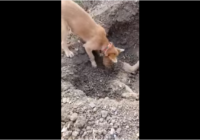 Sirdi plosošs VIDEO: suns aprok savu draugu pēc tam, kad viņu notriec mašīna