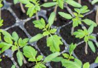 Piķējam tomātus! Padomi, kā to pareizi darīt, lai stādiņi augtu stipri un spēcīgi!