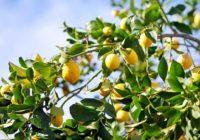 Citrons veselībai: Lūk iemesli, kādēļ tev uzturā jālieto citroni