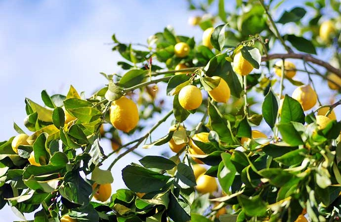 Citrons veselībai