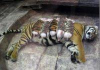 Tīģeriene pieņēma sivēnus strīpainos džemperos par saviem bērniem!