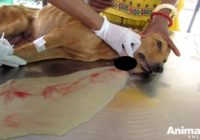 Dzīvnieku aizstāvji izglāba dzīvību šai kucēnu māmiņai, kurai uz kakla bija izveidojies milzīgs augonis