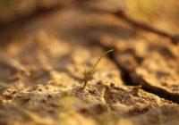 Glābt, kas vēl glābjams. Agronoma ieteikumi sausuma posta mazināšanai dārzos