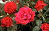 Rozes: Skaistākās un krāsņākās rožu šķirnes pasaulē (+bildes)