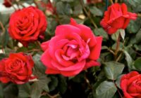 Skaistākās rožu šķirnes pasaulē (+bildes)