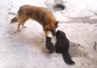 VIDEO: Kaķis atveda kaķēnus apciemot draugu – suni. Grūti iedomāties aizkustinošāku tikšanos!
