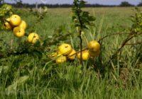 Cidonijas ziemai – 7 receptes, kā šo super augu saglabāt ziemas periodam